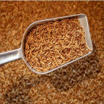 Mehlwürmer - Starter Kolonie 500 Stück